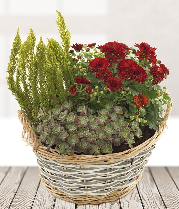 Red Chrysanthemum Plant