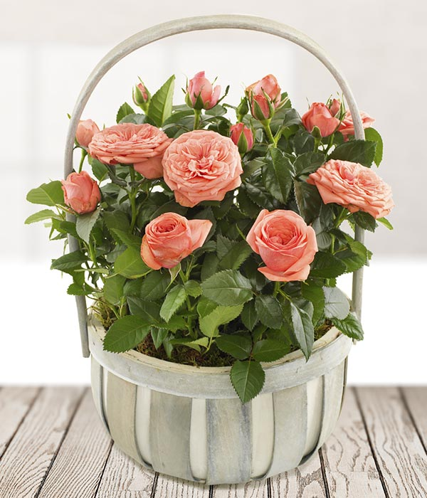 Rose Planted Basket